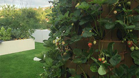 La société clermontoise Green City lance son Arbre à fraises